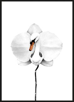 Poster - Swan orchid
