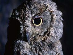 owl nocturnal feeds on mice bird of prey Birds Of Prey, Cute Animals, Wallpaper, Owls, Design, Art, Animales, Pretty Animals, Art Background
