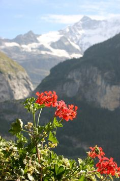 Red Geranium in the Swiss Alps