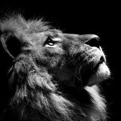 Lion Black and White iPad Wallpaper 1024x1024