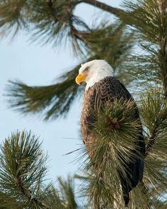 soaring eagle!