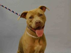 Brooklyn Center HARLEY – A1078660 FEMALE, BROWN, AM PIT BULL TER MIX, 1 yr OWNER SUR – EVALUATE, NO HOLD Reason NO TIME Intake condition EXAM REQ Intake Date 06/24/2016, From NY 11378, DueOut Date 06/24/2016