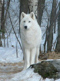 White Wolf - saw a beautiful stray dog like this called Aspen at the shelter where i work. he's gorgeous :)
