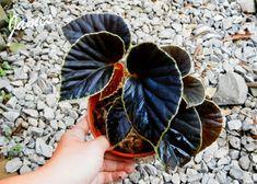 Begonia, Planting Succulents, Planting Flowers, Gothic Garden, Foliage Plants, Rare Plants, Outdoor Plants, Tropical Plants, Hanging Plants