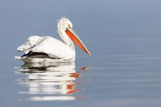 Photographing Dalmatian pelicans at Lake Kerkini in Greece. Februari is the start of their breeding season an then they show their beautiful feathers and beak colours. Dalmatian, Greece, Nature Photography, Wildlife, Colours, Feathers, Animals, Beautiful, Greece Country
