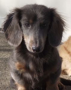This dachshund is stunning! Love his color and coat!