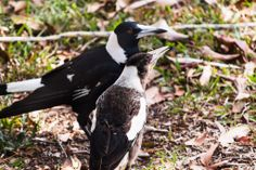 Pied Butcherbird and Australian Magpie - Brisbane, Australia - Zac Harney Photography