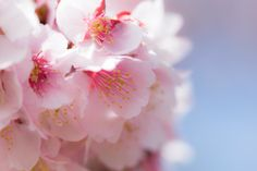 Cherryblossom by Asuka Sato on 500px