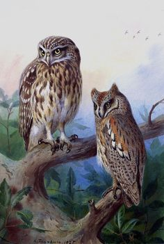 "Archibald Thorburn, Little Owl and Scops Owl antique decor, 20""x14"" Canvas Art"