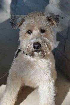 .Soft Coated Wheaten Terrier