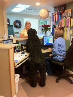 Black Russian Terrier at work as secretary for the day.