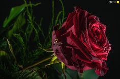 rose, Rosy, Claret, drops