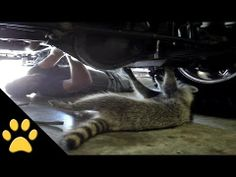 You Won't Believe What This Raccoon Can Do Under A Car