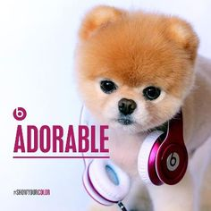 Boo, The World's Cutest Dog (6-year-old pomeranian dog of Facebook Employee, Irene Ahn)
