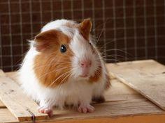 Prince cochon d'inde shelty mâle