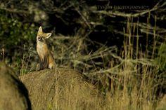 Ah, this is the life! Cape Breton, Foxes, Deer, Wildlife, Animals, Animales, Animaux, Animal, Animais