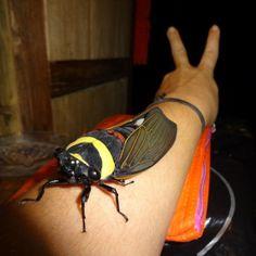 世界最大の蝉がカラフルでデッカ過ぎるwwwwwwwww Tacua speciosaは蝉の非常に大規模な東南アジアの種です。15〜18センチメートルと世界最大のセミです。 黄緑色の襟、胸部の赤い横ストライプとターコイズブルーの腹部と黒い翼を持っています。