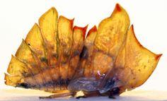 Membracid leaf mimic - Trinidad