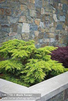 1203718 Dwarf spreading Juniper in raised planter against stone wall [Juniperus cv.]. Jim Swift, Bellingham, WA. © Mark Turner