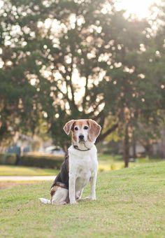 Backlighting | Dog Photography Session #petphotography #beagle