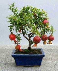 """AMAZING Looking Dwarf Pomegranate """"Punica granatum Nana"""" Bonsai Tree Seeds"""