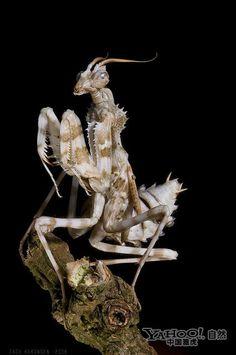Rare and beautiful Indonesia flower mantis