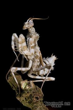 Rare and beautiful Indonesia flower mantis