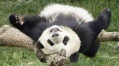 40 Fotos de pandas - Fottus : Fottus