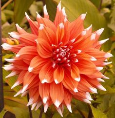 Dahlia color spectaacle ( 1 Tuber)  - Giant Flowers, Great Cut Flowers Great Cut Flowers,Blooms Summer to fall