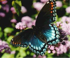 Photo of a red spotted purple butterfly on ageratum.