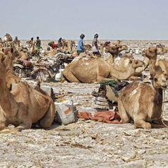 chargement sur les caravanes de Sels-Route de Mekele-Dalol-Mekeler en Ethiopie