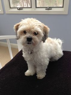 Okay, I am ready to get out of here! Havanese on the go