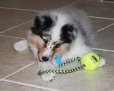 For all who don't know, this is very much a blue merle Sheltie puppy. :)