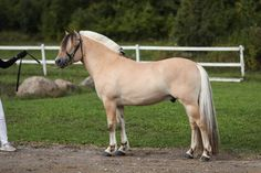 Fjord Horse, Barn, Horses, Animals, Horse, Converted Barn, Animales, Animaux, Barns