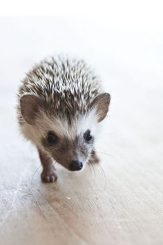 Hedgehog walking up to the camera