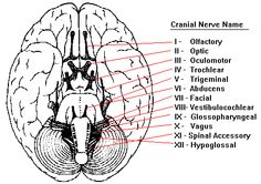 Neuroscience for Kids - Cranial Nerves Great experiential study tips to help memorizing the nerves. Speech Pathology, Speech Language Pathology, Speech And Language, Speech Therapy, Occupational Therapy, Physical Therapy, Medical Students, Nursing Students, Nursing Schools