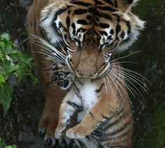 A two-month-old Sumatran tiger cub at the San Francisco Zoo is carried by its mother in the Baby Bjorn that is her mouth.