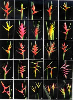 heliconia varieties in poster form: Tropical Flowers, Hawaiian Plants, Exotic Flowers, Tropical Plants, Amazing Flowers, Cactus Flower, Purple Flowers, Tropical Garden Design, Tropical Landscaping