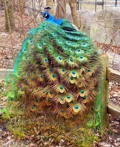 Pretty as a Peacock !!