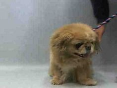 SUPER URGENT 04/16/16 Manhattan Center JOLLY – A1070450  NEUTERED MALE, ORANGE, PEKINGESE, 12 yrs STRAY – ONHOLDHERE, HOLD FOR ID Reason STRAY Intake condition UNSPECIFIE Intake Date 04/15/2016, From NY 10301, DueOut Date04/18/2016
