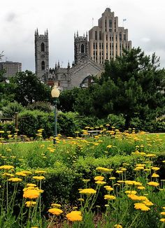 Beautiful yellow flowers in the foreground, historic Montreal architecture in the background. Great shot!