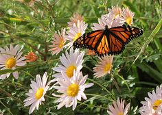 native backyard: Planning A Monarch Waystation, monarch butterfly, pollinator plants