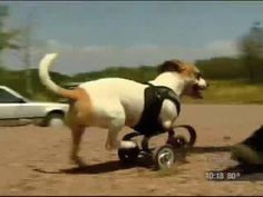 Kandu - The Inspirational Two Legged Dog - born with only 2 legs.