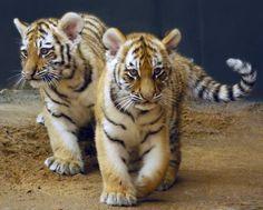 kid kat tiger!