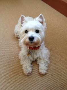 Westie (West Highland Terrier)