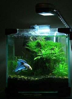 Aquascaped tank showing off a betta