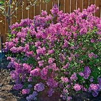 A New Garden Favorite: Bloomerang Lilac, Clusters of purple-pink, sweet scented blooms that bloom from May till first frost