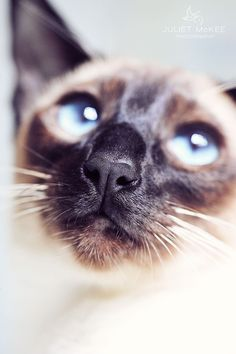 'Mimi', my Seal Point kitten.  http://julietmckeephotography.co.uk/index.php/pride-my-siamese-cats/
