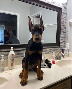 Super Cute Puppies, Cute Dogs And Puppies, Baby Dogs, Doggies, Doberman Pinscher Dog, Doberman Dogs, Dobermans, Cute Little Animals, Cute Funny Animals