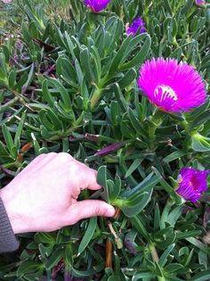 acinaciformis Sour Fig Suurvy Iceplant Rare Cute Live Cactus Succulent Plant C